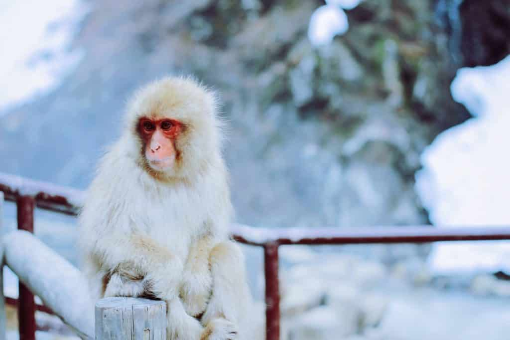 tienes que ver a los monos en el parque de los macacos en Jigokudani Japón