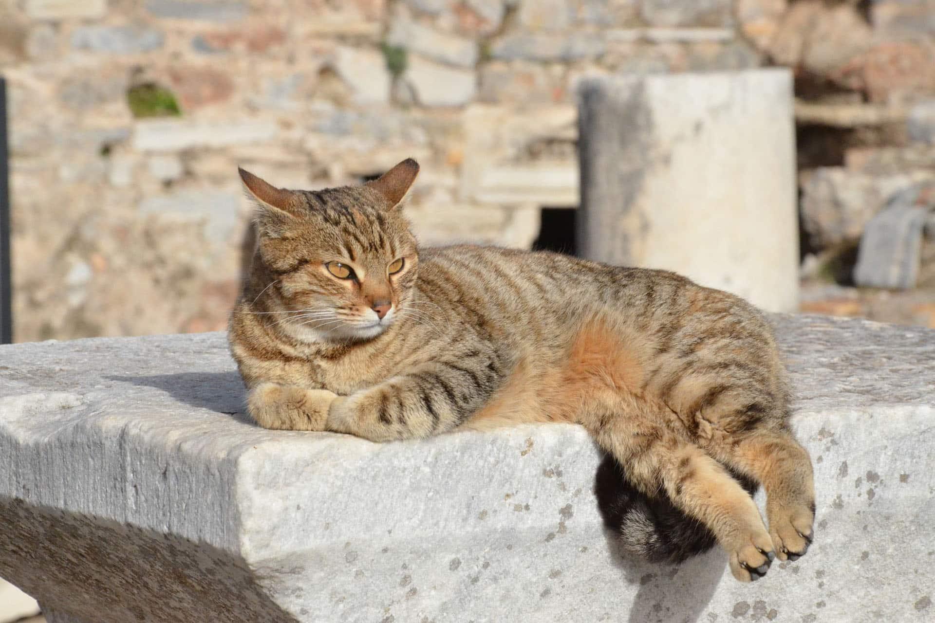 Gato en las Ruinas de Éfeso, Turquía