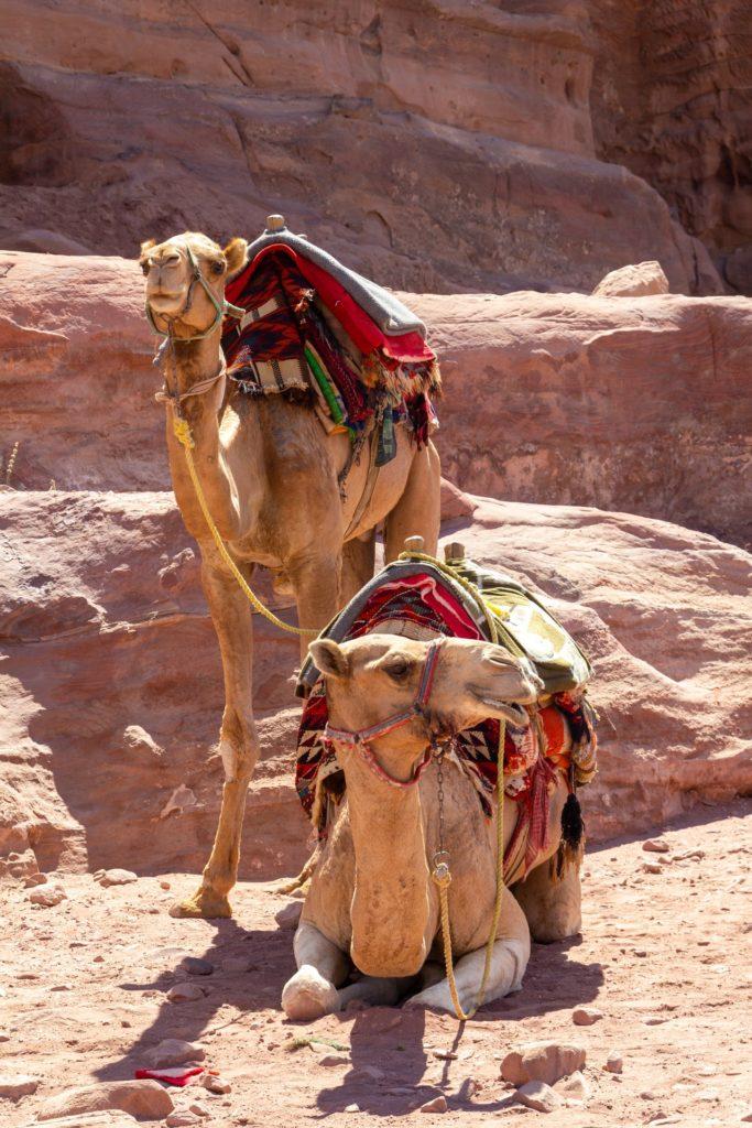 Camellos para pasear en el desierto