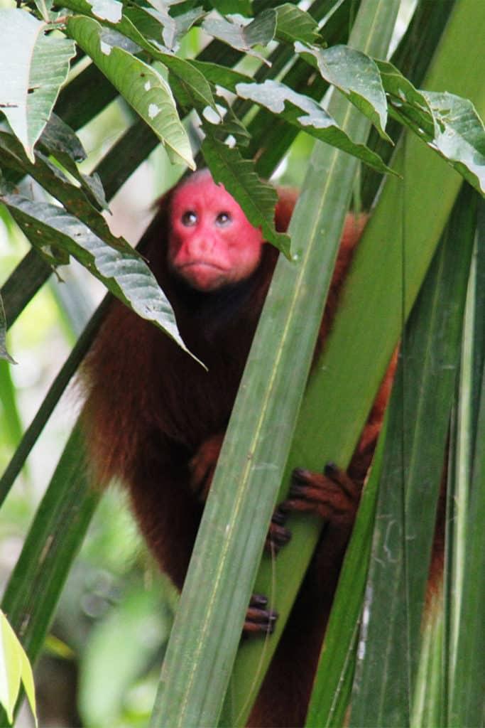 Mono en Iquitos, qué ver en Perú