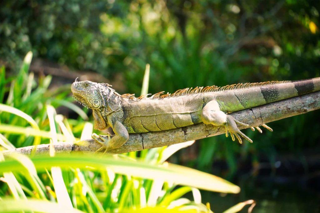 Iguane sur sa branche dans le Parc Nationale Tovera à la Riviera Nayarit au Mexique, que faire riviera nayarit